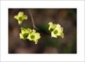 Detail, Flowering Dogwood