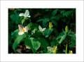 White & Yellow Trillium