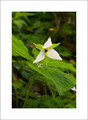 White Wake Robbin Trillium, Porters Creek Trail
