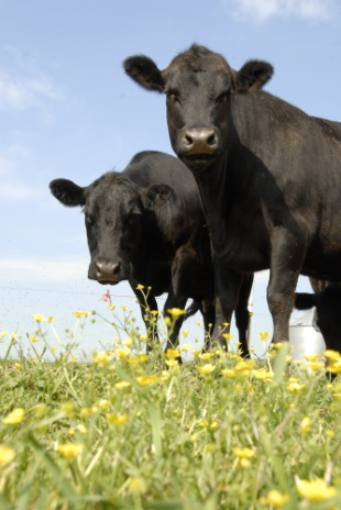 Picture-of-beef-cattle-with-sky-behind