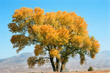 Cottonwood Tree #817 Eastern Sierra Greeting Card