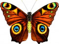 "New Tech kites- Silk Butterfly ""Tiger's eye"""