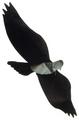 Jackite - Blackbird