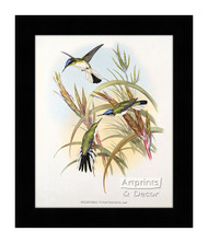 Heliothrix Purpureiceps - Hummingbird - Framed Art Print