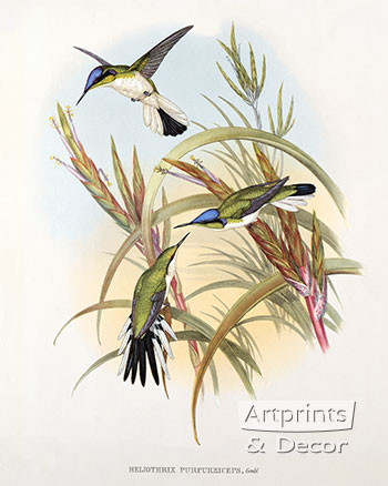 Heliothrix Purpureiceps - Hummingbird by John Gould - Art Print
