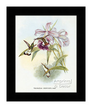 Thaumatias Chionurus - Hummingbird - Framed Art Print