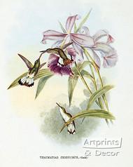 Thaumatias Chionurus - Hummingbird by John Gould - Art Print