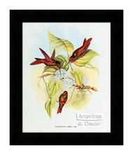 Diphogena Iris - Hummingbird - Framed Art Print