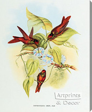 Diphogena Iris - Hummingbird by John Gould - Stretched Canvas Art Print