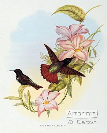 Aglaeactis Pamela - Hummingbird by John Gould - Framed Art Print