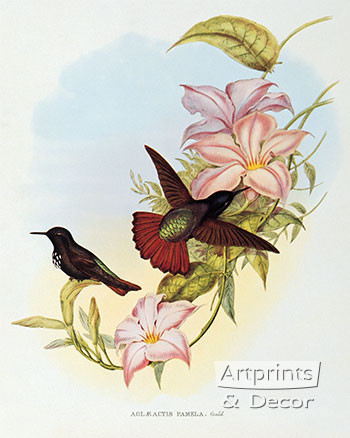 Aglaeactis Pamela - Hummingbird by John Gould - Art Print