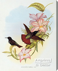 Aglaeactis Pamela - Hummingbird by John Gould - Stretched Canvas Art Print