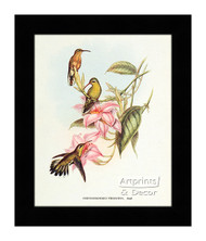 Chrysobronchus Virescens - Framed Art Print