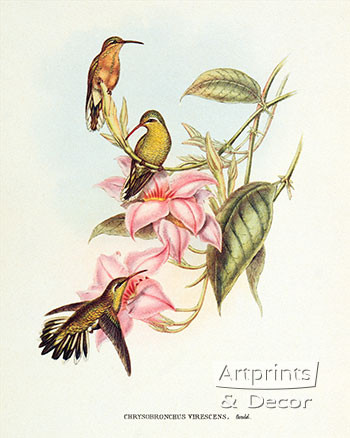 Chrysobronchus Virescens by John Gould - Art Print