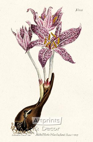 Flowered Meadow Saffron by William Curtis Botanical Magazine - Art Print