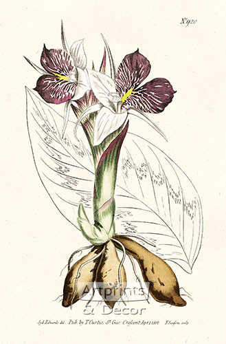 Round Rooted Galangale by William Curtis Botanical Magazine - Art Print
