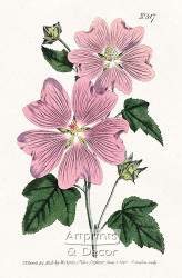 Great Flowered Lavatera by William Curtis Botanical Magazine - Art Print
