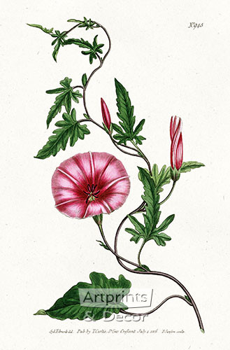 Bryony - Leaved Bindweed by William Curtis Botanical Magazine - Framed Art Print