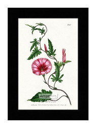 Bryony - Leaved Bindweed - Framed Art Print*