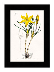 Old Cloth of Gold Crocus - Framed Art Print*