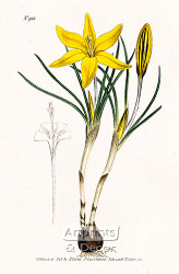 Old Cloth of Gold Crocus by William Curtis Botanical Magazine - Art Print