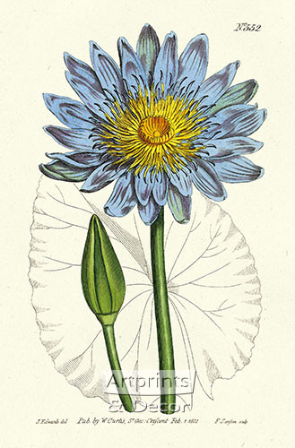 Blue Water Lily by William Curtis Botanical Magazine - Framed Art Print