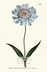 Scabiosa Caucasea by William Curtis Botanical Magazine - Art Print