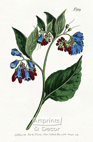 Prickley Comfrey by William Curtis Botanical Magazine - Art Print