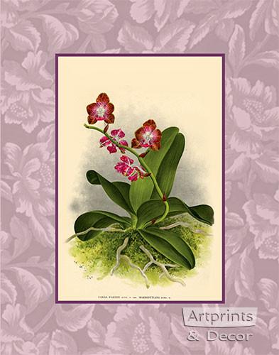 Rose Orchids - Framed Art Print