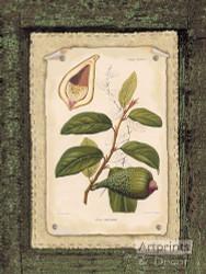 Ficus - Art Print