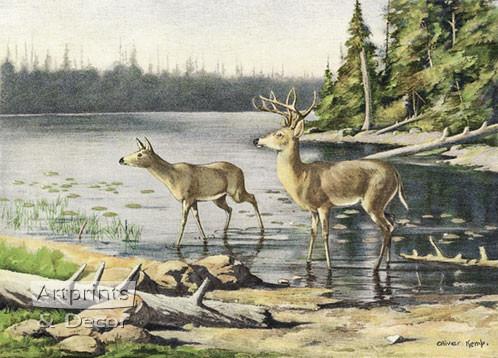 Adirondack Deer by Oliver Kemp - Art Print