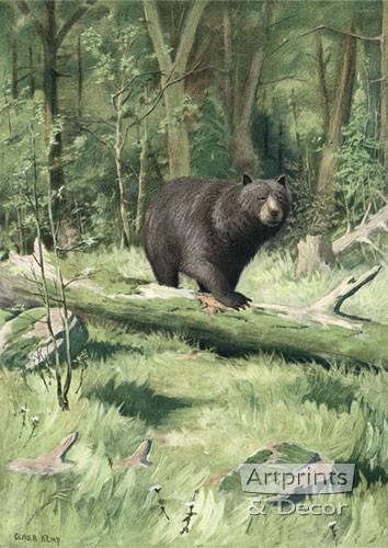 Adirondack Black Bear by Oliver Kemp - Art Print