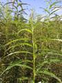 100 x Salix Viminalis 1.5 metre Willow Rods / Whips
