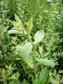 Salix Purperea (Purple Willow)