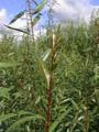 Salix Alba (White Willow)