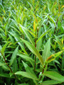 Salix Fragilis Decipiens (White Welsh)