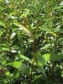 Salix Pentandra (Bay Willow)
