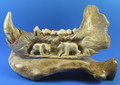 Fossil Carved Cave Bear Jawbone