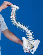Human Spine Model, Life-Size, on stand