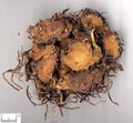 Ziwan (Tatarian Aster Root)---紫菀(powder100g/bottle)