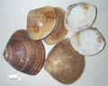 Haigeqiao (Sea clam shell)---海蛤壳