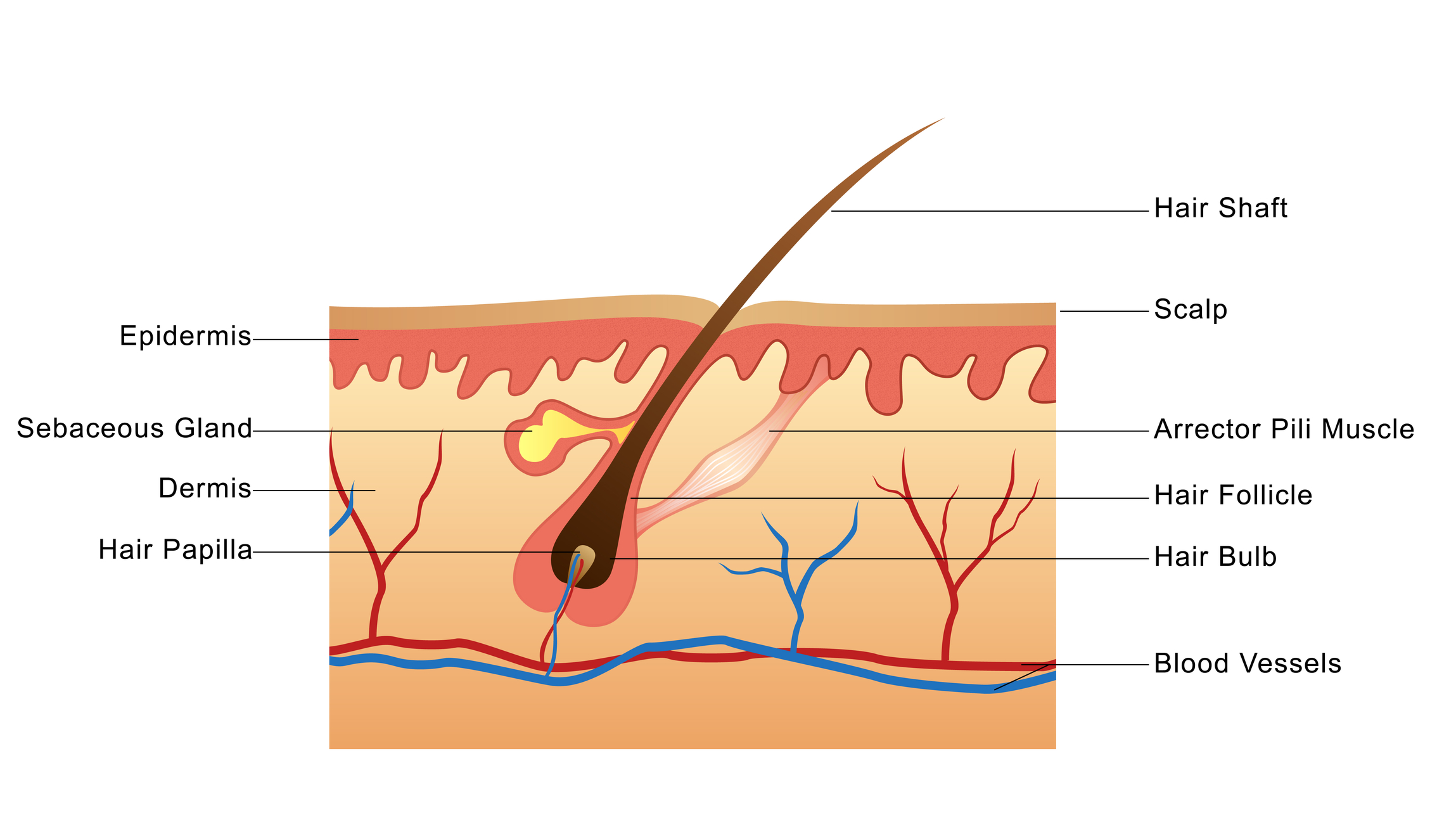 Hair diagram anatomy