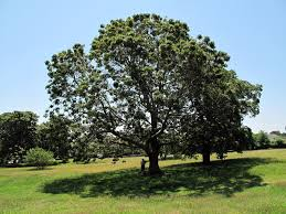 Image result for Black Oak Tree