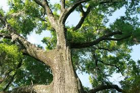 Image result for Water Oak  Tree
