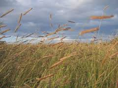 Image result for black grama grass