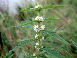 Image result for American bugleweed