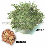 Amazing Resurrection Plant