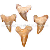 Large Authentic Shark's Teeth