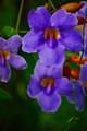 Incense - Imperial Violet, 1 oz.