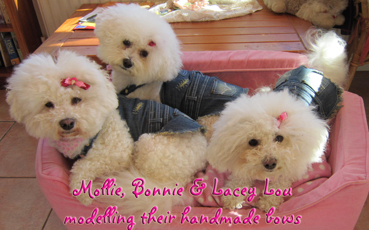 Bichon Frise Bonnie, Mollie and Lacey Lou